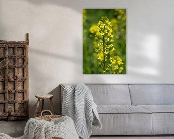 Gelbe Blume der Nahaufnahme (weißer Senf) von Kristof Leffelaer