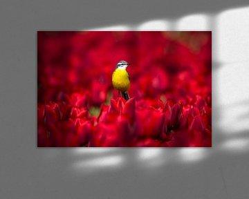 Schafstelze im Tulpenfeld von Christien van der Veen Fotografie