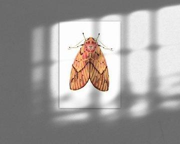 Rosa gelbe Motte auf weißem Hintergrund von Angela Peters
