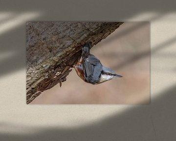 Portret van een boomklever sur Sven Scraeyen
