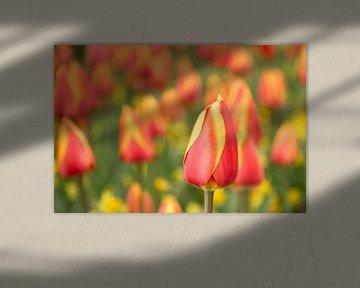 Hollands bollenveld met rode en gele tulpen in de Keukenhof von Renske Breur
