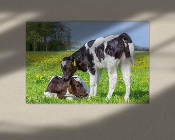 Zwei neugeborene Kälber zusammen in der europäischen Weide mit Löwenzahn von Ben Schonewille