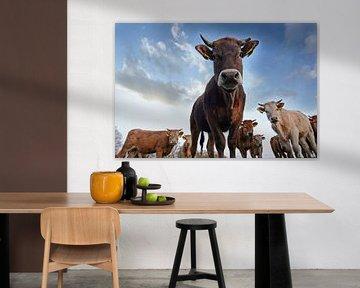 Vaches curieuses sur René van der Horst