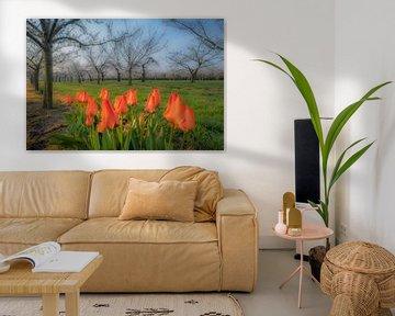 Frühling: blühende Tulpen im Obstgarten von Moetwil en van Dijk - Fotografie