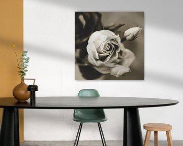Rosenblüte mit zwei Blütenknospen im Garten schwarz-weiß romantisch von Carmen Varo