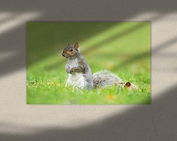 Grijze eekhoorn von Elles Rijsdijk
