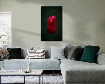 Prachtige rode tulp op zwarte achtergrond