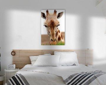 Gras fressendes Giraffenporträt von Bobsphotography