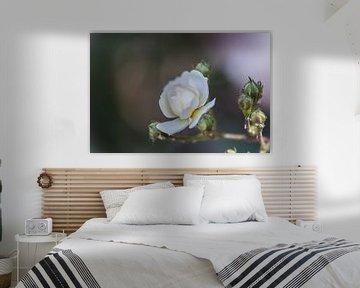 weiche Rose von Tania Perneel