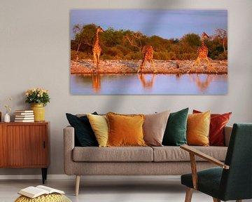 Giraffen im Abendlicht, Namibia von W. Woyke