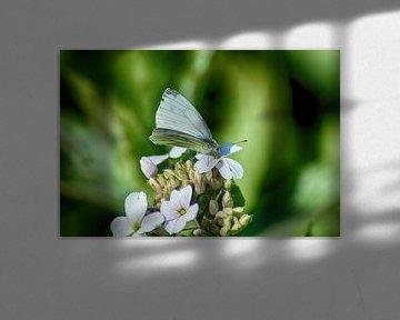 Traum-Schmetterling von FotoGraaG Hanneke