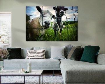 Nieuwsgierige schapen van Jildou Smilda