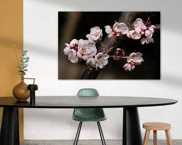 Koreanische Kirschblüte von Tristan Lavender