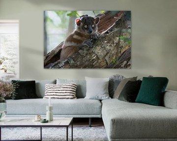 Der sportliche Lemur. von Tim Link