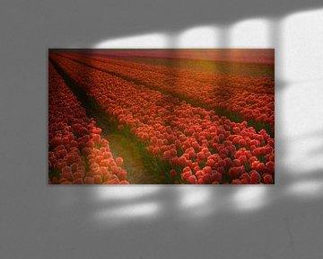 Tulpenveld tijdens de zonsondergang von Michel Knikker