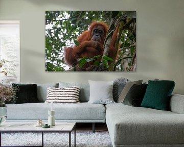 orang oetan in de jungle von Wesley Klijnstra