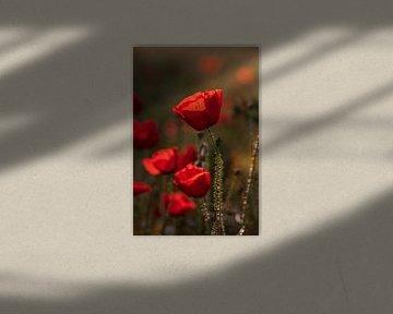Mohnblumen im Morgenlicht von Kurt Krause