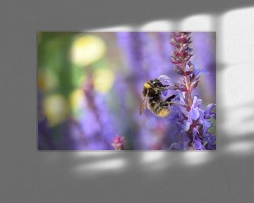 hommel is honing aan het verzamelen op lavendel von Jos Broersen