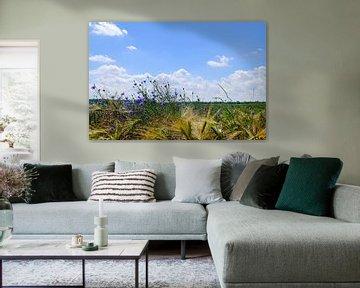 Kornblumen von Ostsee Bilder