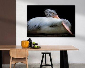 Pélican à plumes douces et bec rose