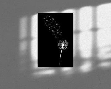 Löwenzahn. Pusteblume . von Felix Brönnimann