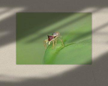 Salticidae Spinne III von Iris Volkmar