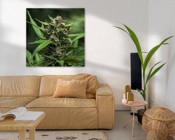 Cannabis Blatt Blüte von Felix Brönnimann
