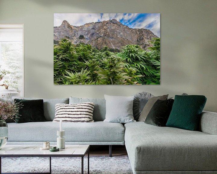 Beispiel: Cannabis Feld in der Schweiz mit Bergen von Felix Brönnimann