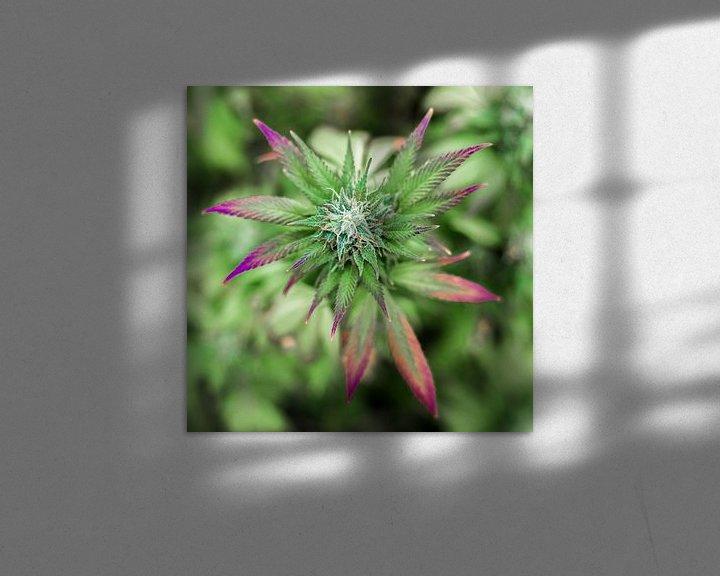 Beispiel: Cannabis Blüte Purple von Felix Brönnimann