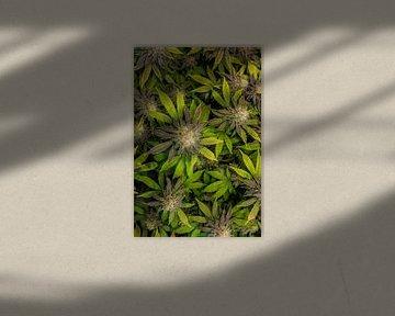 Cannabis Blüten von oben von Felix Brönnimann