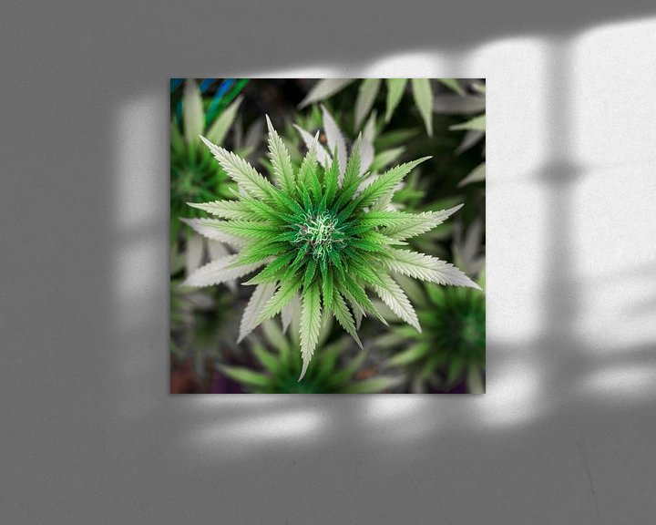 Beispiel: Cannabis Blüte von Felix Brönnimann