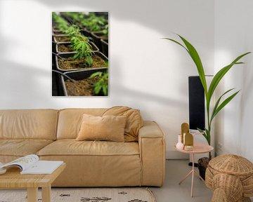 Jonge Cannabisplant - Hennep van Felix Brönnimann