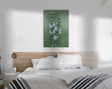 weiße Lavendel von Tanja van Beuningen