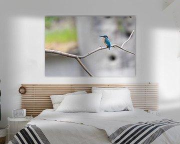 Eisvogel von Felix Brönnimann