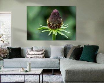 Echinacea von Ingrid Aanen