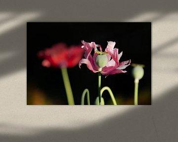 rosa Mohnblume von Tania Perneel