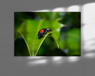 Lieveheersbeestje sur Maurice Looyestein