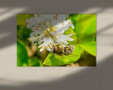 Bij is op zoek naar nectar! van Maurice Looyestein
