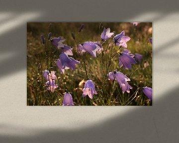 Glockenblumen im Morgentau von Christian Müringer