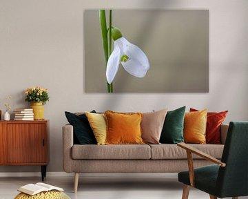 Galanthus woronowii von AGAMI Photo Agency