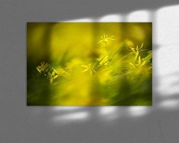 Weidegeelster (Gagea pratensis) von AGAMI Photo Agency