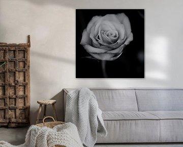 Rose (schwarz und weiß) von Fotografie Jeronimo