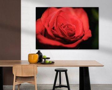 Nahaufnahme einer roten Rose von Fotografie Jeronimo