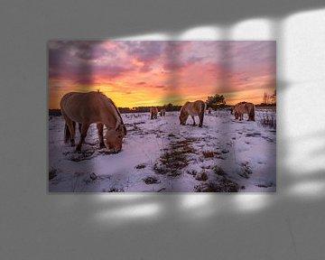 Noorse Fjordenpaarden bij zonsondergang