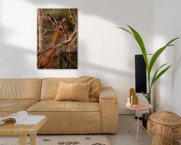 Antilope in Samburu county, Kenia von Andy Troy