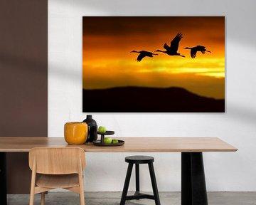 Canadese Kraanvogel (Grus canadensis) in vlucht sur AGAMI Photo Agency