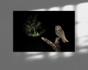 Dwergooruil (Otus scops) in zit van AGAMI Photo Agency