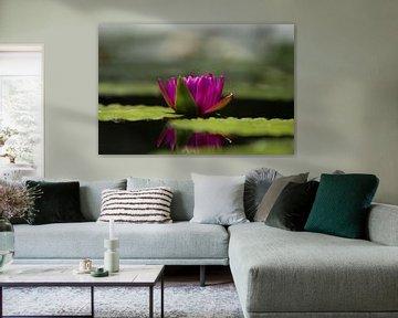 Roze Lotus von Schram Fotografie