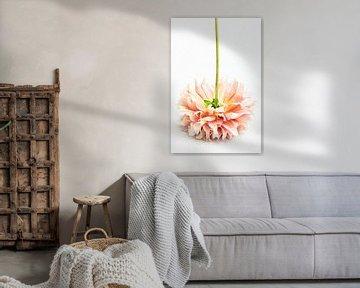 Blume Dahlie auf den Kopf gestellt von Clazien Boot