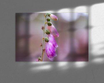 digitalis purpurea von Tania Perneel